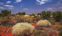Australia desert wildflowers