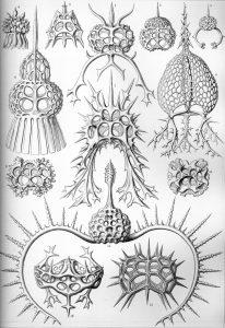 Haeckel_Spyroidea.jpg