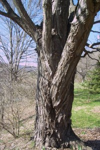 SugarMaple trunk.JPG