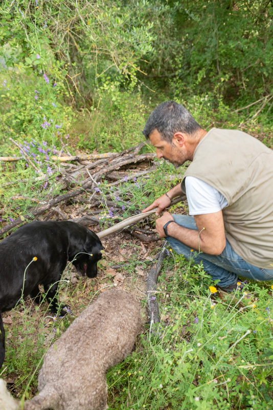 Pepita the black Labrador is a skilled truffle hunter