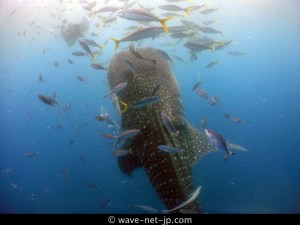 Whale shark fan image