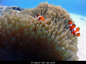 Clown anemone image 1