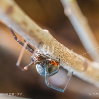 オーストラリアの毒グモ セアカゴケグモ