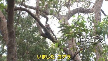 野生のコアラ捜索ミッション → コアラ、森へ帰る! ~森林火災取材とコアラのその後