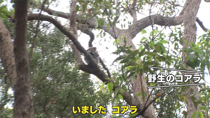 野生のコアラを無事探すことができました!