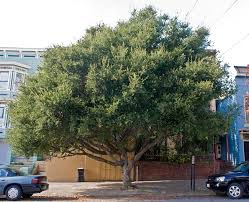Live Oak - large 50 ft, plant sparingly since it is already so prevalent
