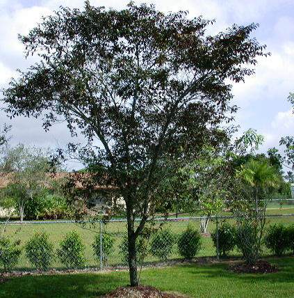 Satin Leaf - medium, 30 ft, slow growth, fruit is messy, Staff's choice.