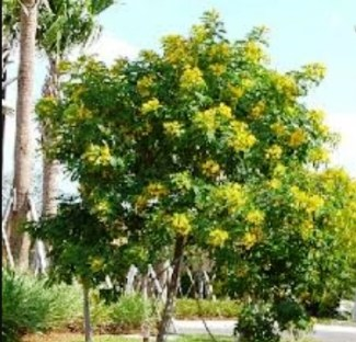 "Verawood (aka Bulnesia), decorative tree"", 3 inch wide yellow flowers, Staff's choice instead of Desert Cassia."