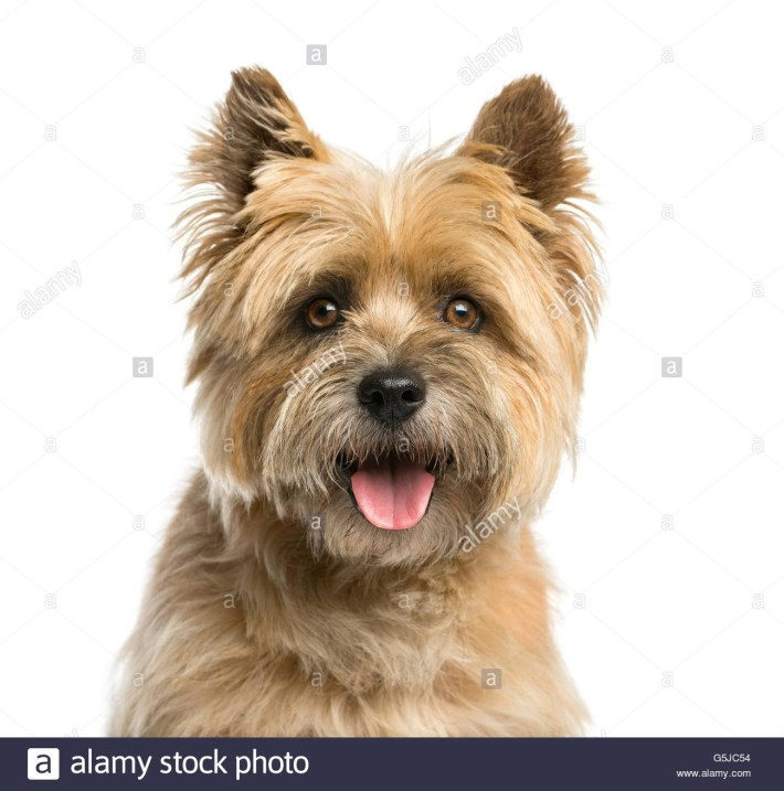 Close-Up Of A Cairn Terrier In Front Of A White Background Stock regarding How To Trim A Carin Terriers Face