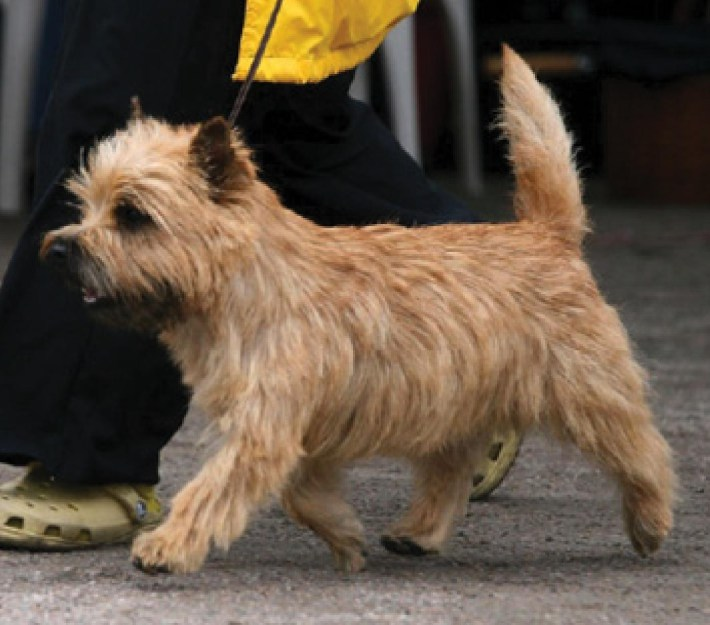 The Cairn Terrier: A Synopsis Of The Illustrated Guide Of The Cairn within How To Trim A Carin Terriers Face