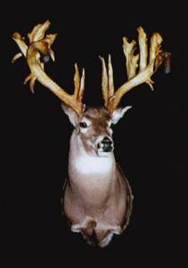 """""""The Alexander McDonald Buck"""" taken in 1960 in Nova Scotia with a modern Rifle. (Currently owned by Bass Pro Shops) 35 Points on an 11 point frame."""