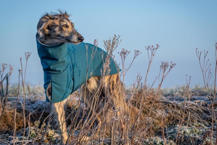 Windhund mit Hundemantel von Waxwerke