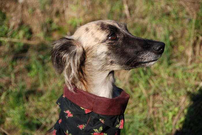 Schals und Loops sehen besonders an Windhunden toll aus