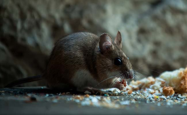 After coronavirus its hantavirus which led to the death of a man ...