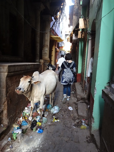 バラナシの牛が歩く道