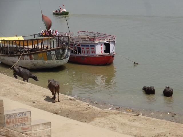 昼間のガンジス川を沐浴する牛