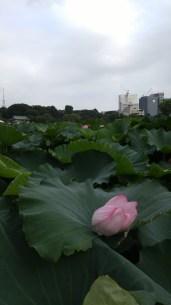 These Lotus were huge