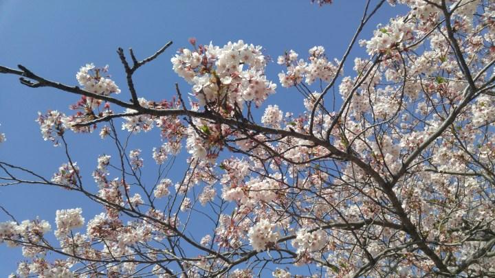 Jinhae Cherry Blossom Tour 진해국항제