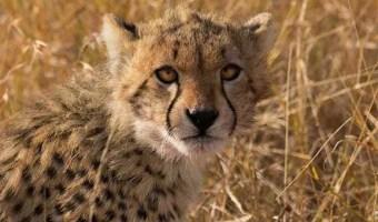 Cheetah Cub CCF