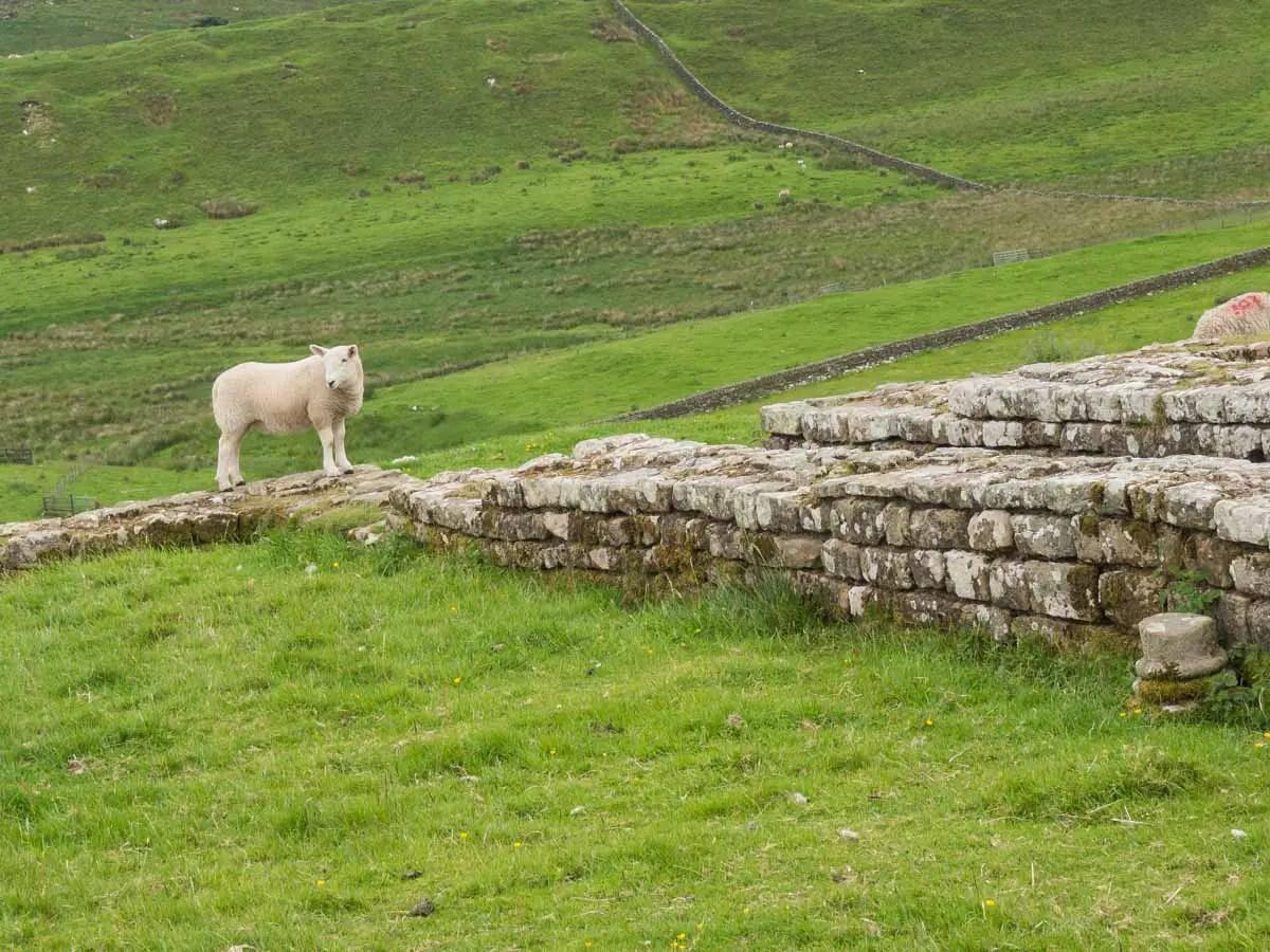 Sheep on Hadrian's Wall
