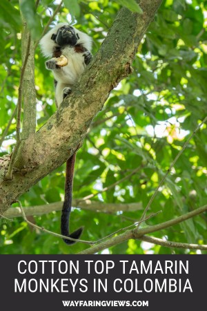 Cotton-Top Tamarin Conservation