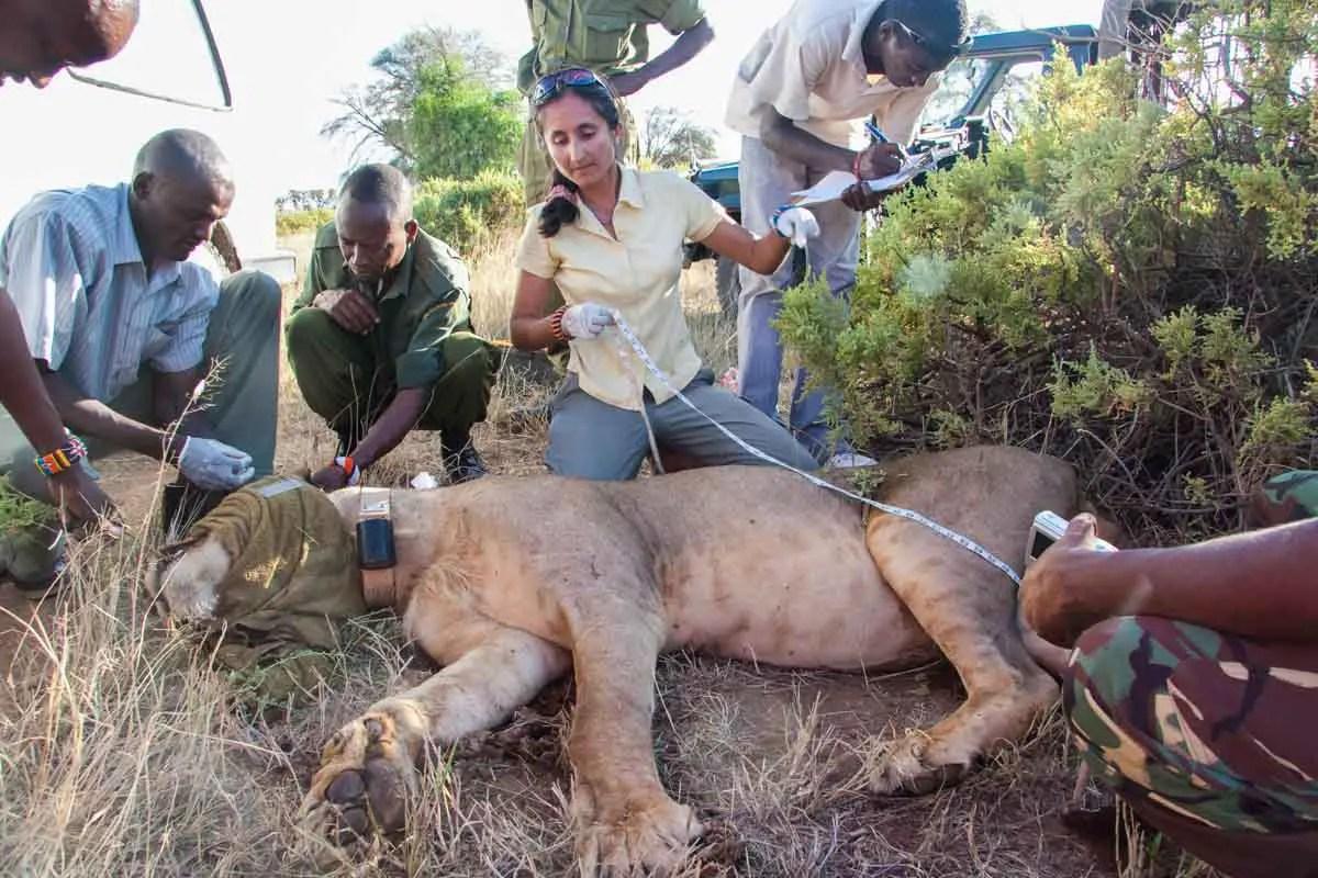 Tracking Ewaso Lions in Samburu Kenya