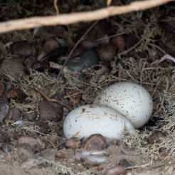 Magellanic Penguin Eggs
