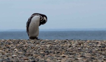 Punta Tombo Penguins Argentina