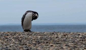 Punta Tombo Penguins Argentina