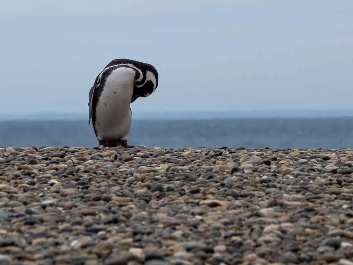 Magellanic Penguins of Argentina