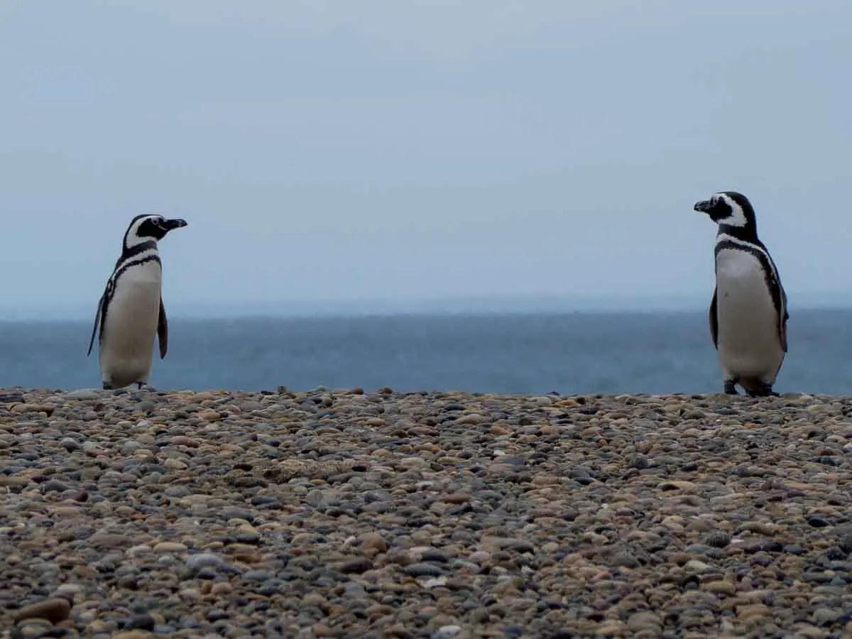 Magellanic Penguins near Peninsula Valdes
