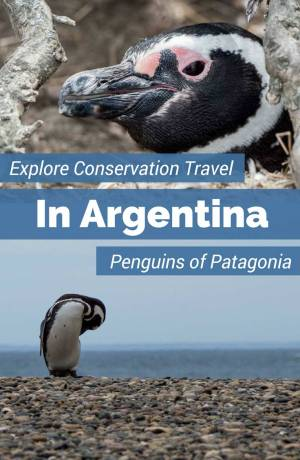 Visit the Punta Tombo penguins and learn about their conservation successes thanks to the Global Penguin Society