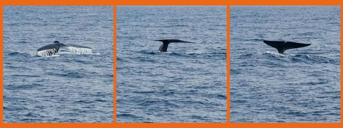 Sperm Whales Marissa Sri Lanka
