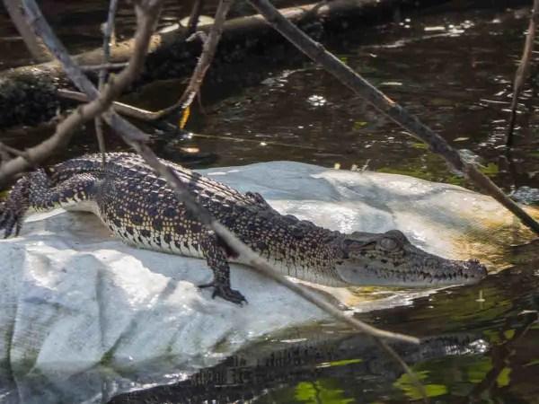 Muthurajawela reserve crocodile