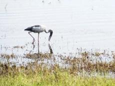 Open bill stork in Sri Lanka