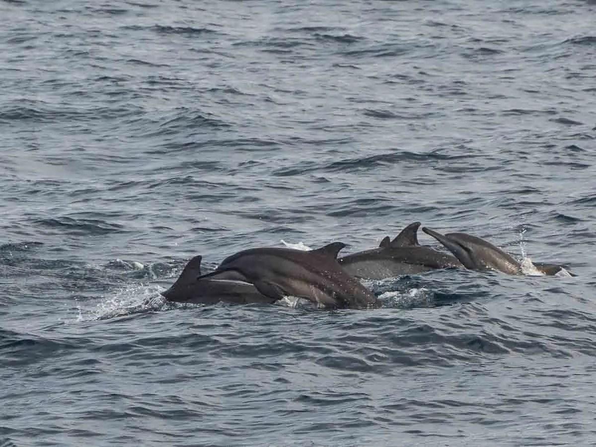Spinner Dolphins Marissa Sri Lanka