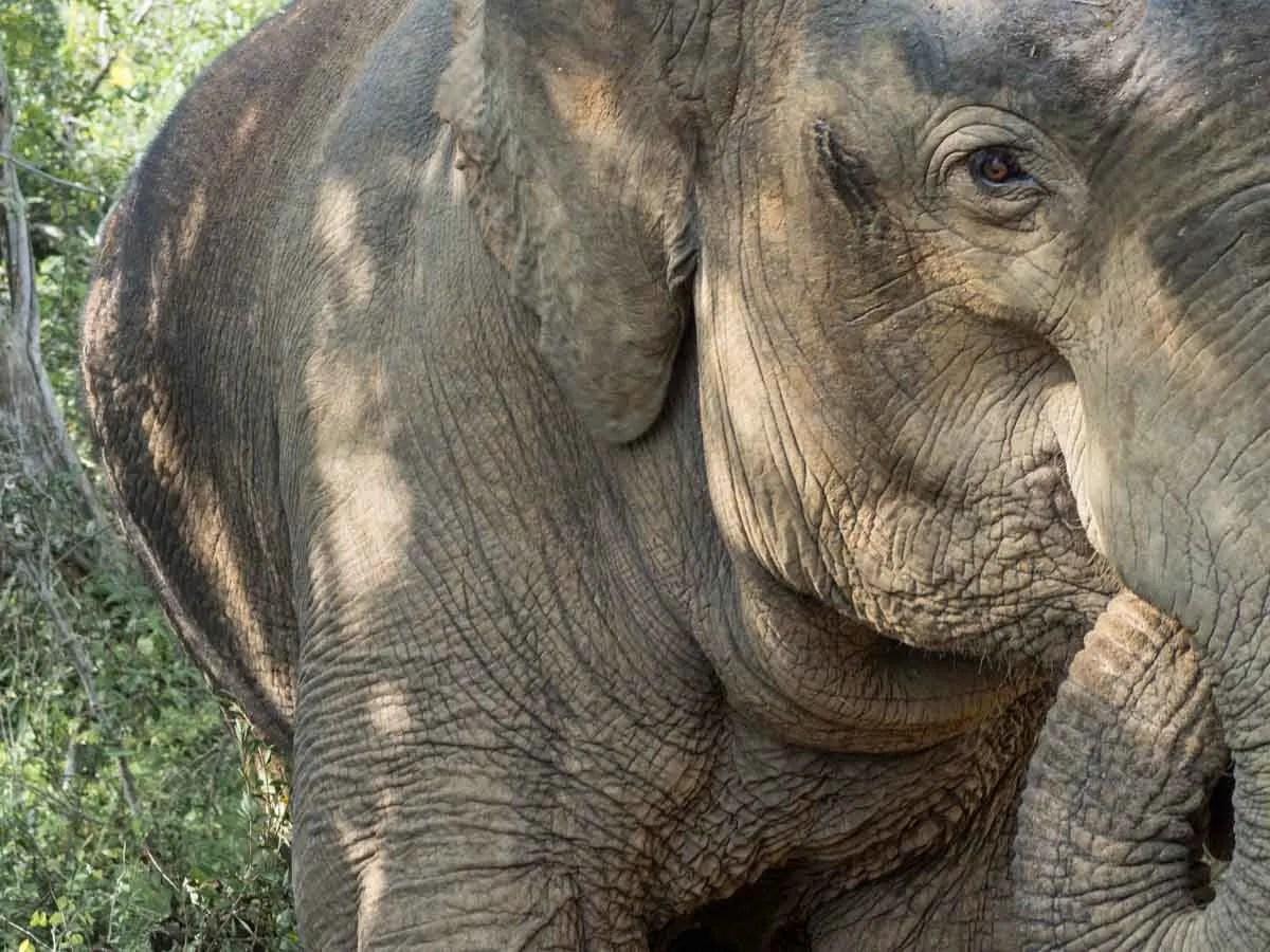 Elephant wildlife in Sri Lanka