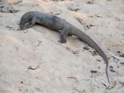 Large land monitor lizard Yala Sri Lanka wildlife
