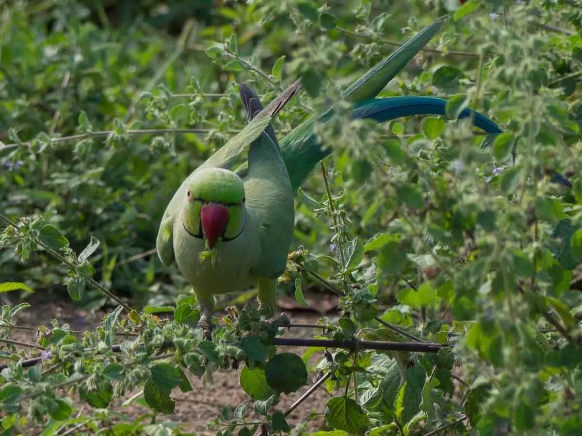 Wild Parakeet in Udawalawe Sri Lanka