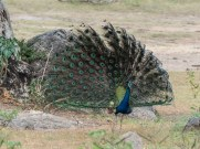 Yala national park peacock display