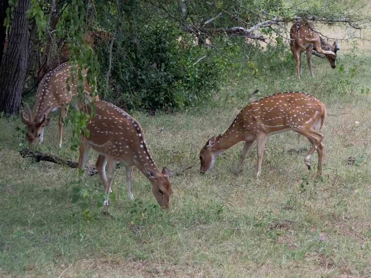 Spotted Deer in Yala Sri Lanka