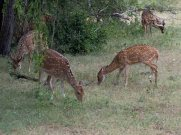 Spotted Deer in Yala Sri Lanka