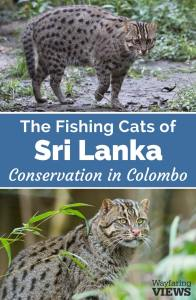 Asian fishing cat conservation in Sri Lanka