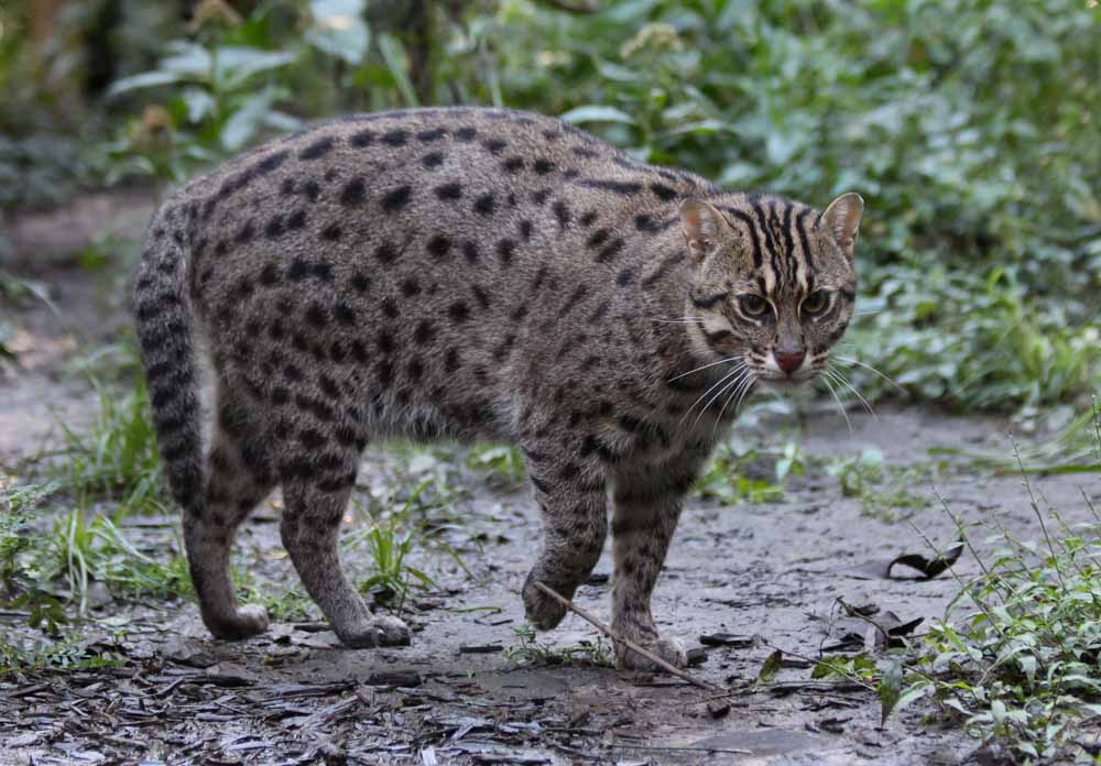 The asian fishing cat surviving urban jungles in sri lanka for Fish video for cats