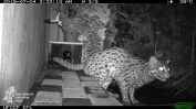 Sri Lanka Fishing Cat night scene patio