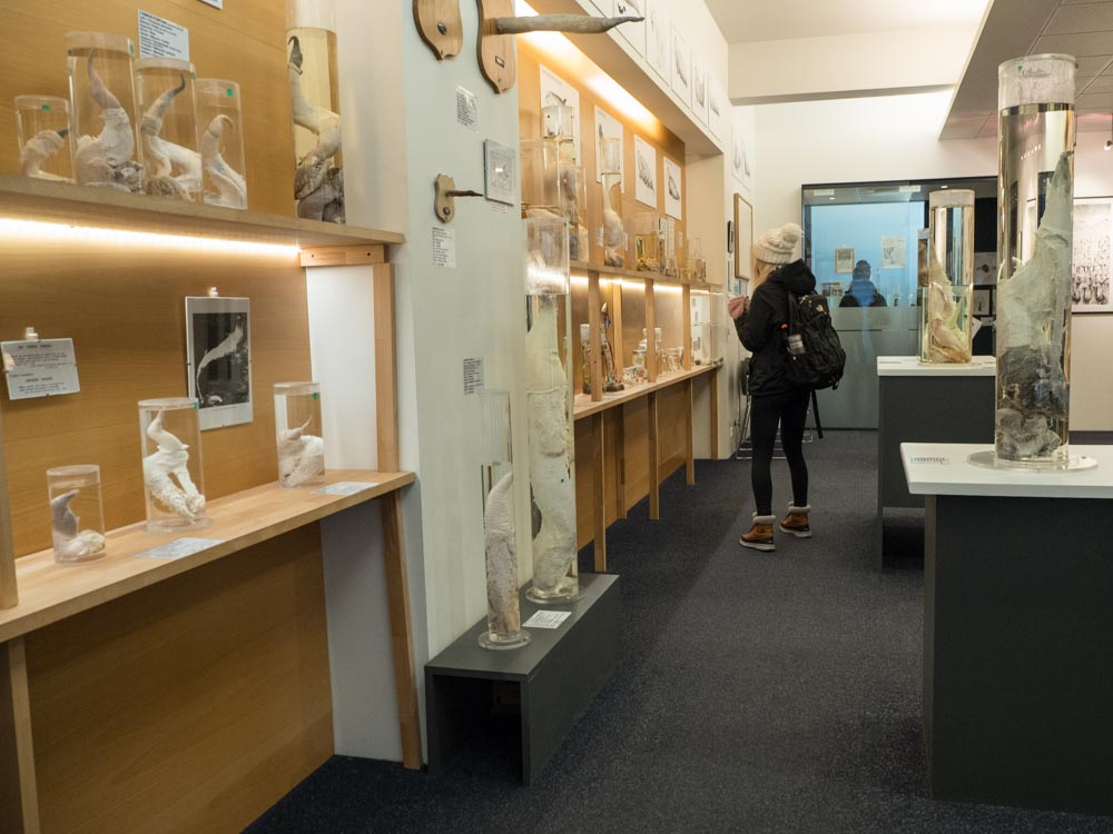 Cool things to do in Reykjavik: Penis Museum
