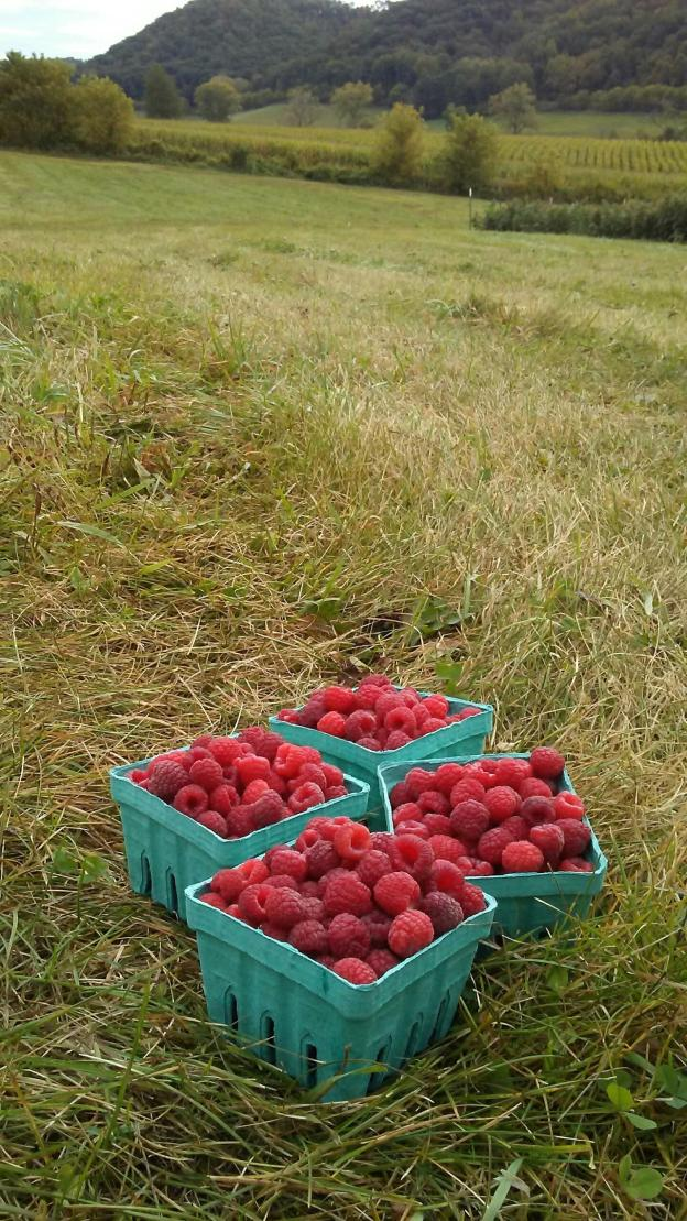 baskets of ripe red raspberries in a farm field in the fall