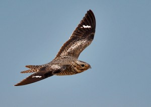 Common Nighthawk Walk @ Heard Farm Conservation Land | Wayland | Massachusetts | United States