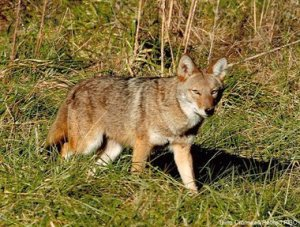 Coyote Ecology and Behavior - now on Zoom