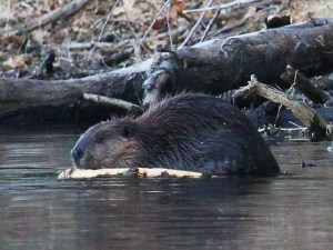 Lives of Beavers @ Sudbury Valley Trustees | Sudbury | Massachusetts | United States